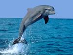 Flipper - en klassisk delfin i tevesammanhang.