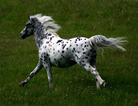 Fram mellan träden steg en vacker, vit springare med svarta fläckar.