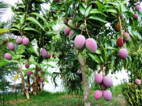 Pengarna går bland annat till att plantera mangoträd. Bilden visar ett ungt mangoträd.