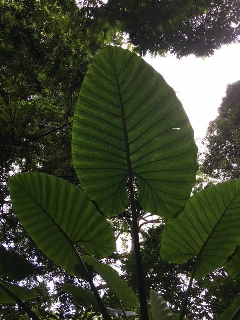 Jättebaoutablad i djungeln.